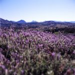 Kooroomba Vineyards and Lavender Farm